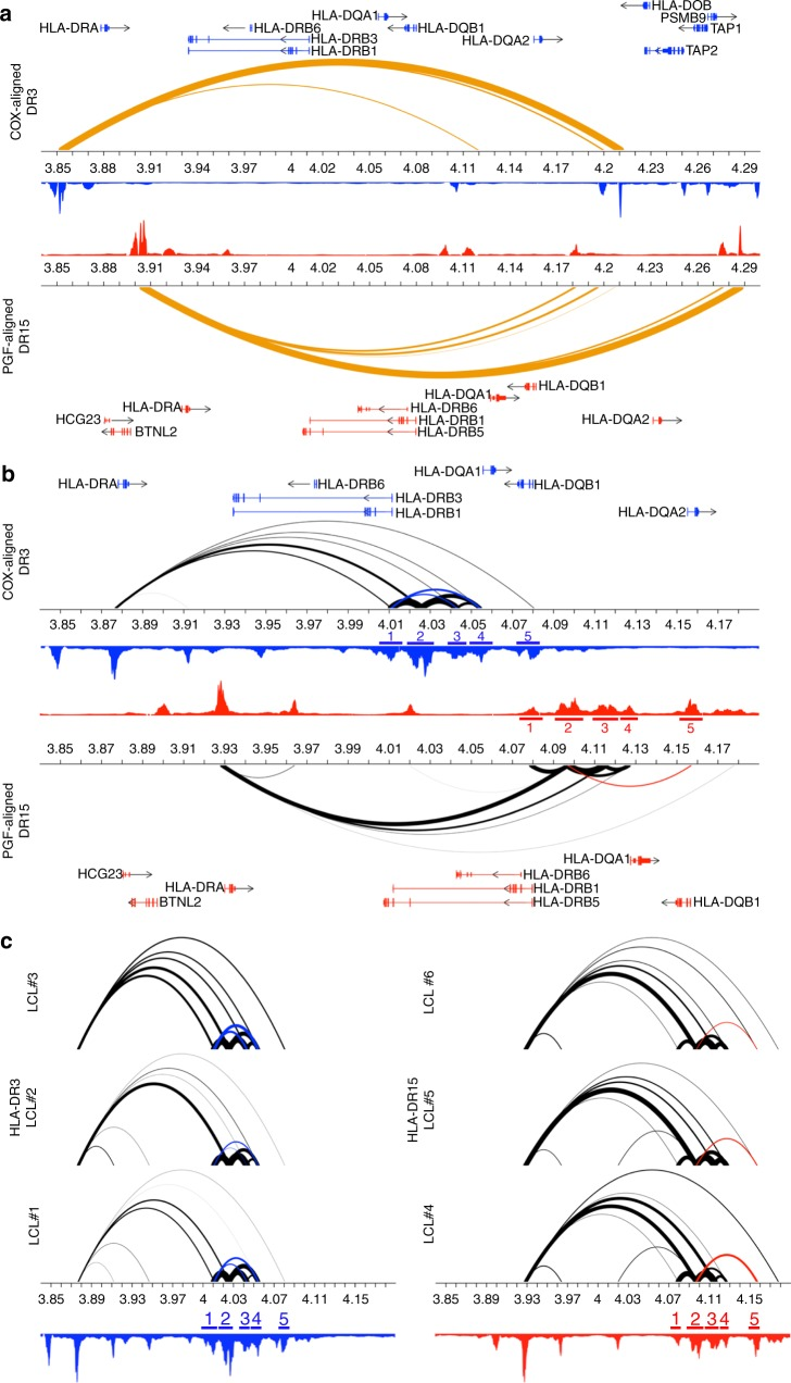 HLA Class II chromatin landscapes of HLA-DR3 and DR15 haplotypes. a <t>CTCF</t> HiChIP looping interactions within the HLA Class II region reveal an insulated neighborhood that extends from BTNL2 to upstream of HLA-DQA2 . The COX-aligned DR3 haplotype is presented on top and the PGF-aligned DR15 haplotype is presented on the bottom. Gene and bp positions are presented specific for each haplotype. Orange arcs represent CTCF-mediated HiChIP interactions. Arc thickness is proportional to the frequency of observed paired-end tags (PETs) at each enhancer. b <t>H3K27ac</t> HiChIP looping interactions within the HLA Class II region reveal differential frequency and pattern in the HLA-DRB1 to HLA-DQB1 region between the HLA-DR15 and HLA-DR3 haplotypes. Black arcs represent H3K27ac-mediated HiChIP interactions. Significant p -values are presented for enhancers that exhibit differential binding frequencies (mean PETs) for one haplotype or the other and are colored by the haplotype that exhibits higher PET counts (HLA-DR3: blue; HLA-DR15: red). H3K27ac ChIP peaks are presented in blue (HLA-DR3) and red (HLA-DR15). Haplotype specific loops are indicated in blue (COX) or red (PGF). Corresponding haplotype specific enhancers are labeled as follows—COX: 1: 4.007–4.013 Mb, 2: 4.021–4.031 Mb, 3: 4.039–4.047 Mb, 4: 4.052–4.06 Mb, 5: 4.078–4.083 Mb; PGF: 1: 4.076–4.081 Mb, B : 4.092–4.102 Mb, C : 4.111–4.120 Mb, D : 4.124–4.129 Mb, E : 4.154–4.159 Mb. c Individual H3K27 HiChIP looping interactions for three subjects heterozygous for HLA-DR3 (left) and three subjects homozygous for HLA-DR15 (right). H3K27ac ChIP peaks, haplotype specific loops, and haplotype specific enhancers are presented in blue (HLA-DR3) and red (HLA-DR15)