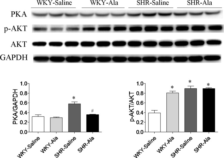 Interaction of alamandine with the protein kinase A (PKA) signaling pathway in spontaneously hypertensive rats (SHRs). PKA and phosphorylated protein kinase B (p-Akt) levels were higher in the hearts of SHRs than in those of Wistar–Kyoto (WKY) rats, and alamandine decreased the expression of PKA but not p-Akt in SHRs. * p