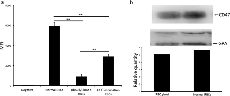 CD47 expression detected using flow cytometry and immunoblotting. a CD47 expression on normal RBCs ( n = 7), Rhnull/Rhmod RBCs ( n = 1, test in triplicate), and 42 °C-incubated RBCs ( n = 3) tested using flow cytometry. RBCs without any CD47 expression were not reported in humans. The negative result was obtained by the normal RBCs that were reacted directly with the secondary antibodies. The MFI was used to show the CD47 levels. The MFIs of the negative result, normal RBCs, Rhnull/Rhmod RBCs, and 42 °C-incubated RBCs were 55 ± 7, 5938 ± 368, 912 ± 194, and 2909 ± 252, respectively. b CD47 expression on the RBC ghost and normal RBCs detected using immunoblotting. The relative amount obtained by the CD47 light density/GPA light density ratio was used to display the CD47 expression. The CD47 level on the RBC ghosts was similar to that on the normal RBCs. ** p