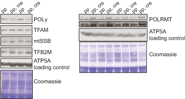 POLγ steady-state levels are decreased in heart Sod2 knockout mice while POLRMT levels are increased. Western blot analysis of proteins involved in replication and transcription from purified heart mitochondria from control (pp) and Sod2 loxP x Ckmm cre (pp, cre) mice (9–10 week old). ATP5A and Coomassie-stained membrane were used as loading controls.