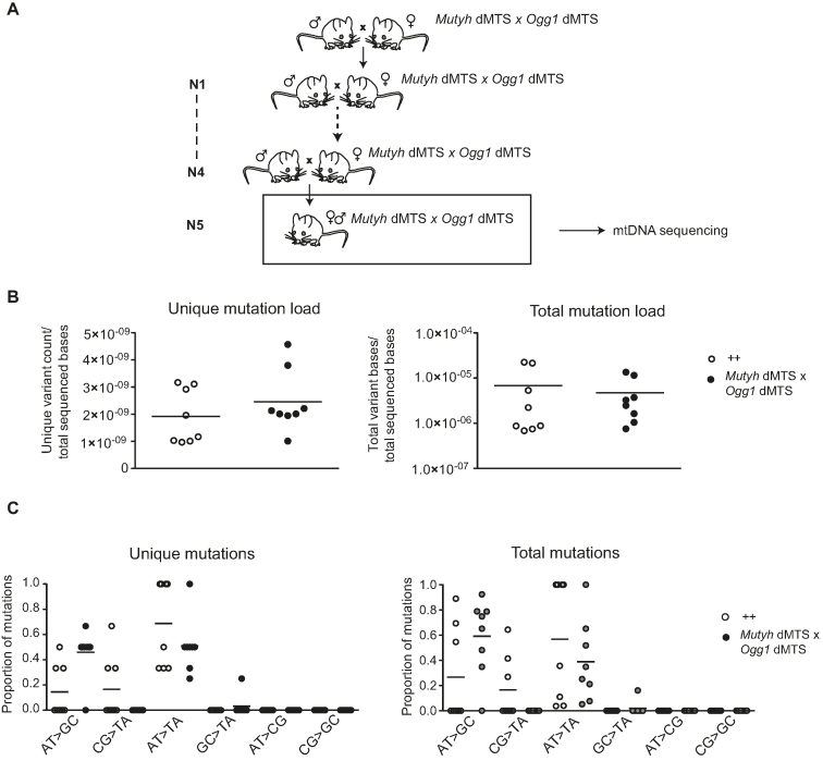 Mitochondrial BER deficient mice do not accumulate point mutations to <t>mtDNA</t> after five generations of consecutive breeding. ( A ) Breeding scheme to accumulate mutations into mtDNA and study germ line mutations. Homozygous Mutyh dMTS × Ogg1 dMTS female mice were bred with homo- or heterozygous Mutyh dMTS × Ogg1 dMTS male mice for five consecutive generations. To minimize the nuclear effects, heterozygote male mice were also used in the breedings. N1–N5 indicates the generations of breeding. ( B ) Mutation load of mtDNA with <t>Illumina</t> sequencing from Mutyh dMTS × Ogg1 dMTS mice after five generations of consecutive breeding. The sequencing was carried out from purified mtDNA from liver. Data is quality filtered and minimum variant allele frequency is set to 0.5%. In unique mutation load each mutation is counted only once, reflecting how many times a specific mutation has occurred. In total mutation load each mutation is counted as many times as it is seen, reflecting the clonal expansion of mutations. White circles indicate samples from controls (++ n = 6, pp n = 2, 10–13 week old) and gray circles indicate samples from homozygous Mutyh dMTS × Ogg1 dMTS mice (dd dd, n = 8, 10–15 week old). Horizontal lines represent means. C. Mutation profile of mtDNA with Illumina sequencing from Mutyh dMTS × Ogg1 dMTS mice after five generations of consecutive breeding. Samples as in B. Horizontal lines represent means. For only quality filtered data see Supplementary Figure S3 .