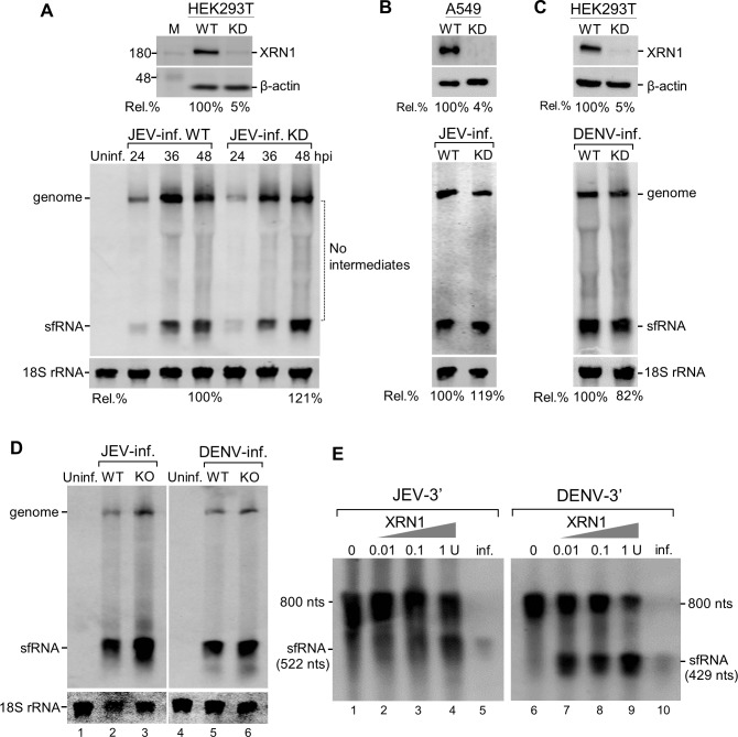 Both knocking-down and knocking-out of XRN1 had no effect on the accumulation of sfRNA. XRN1-knockdown (KD) cells were prepared as described in Materials and Methods. Knockdown efficiency was determined by Western blot using anti-XRN1 and anti-β-actin antibodies. The Rel. % value represents the percentage of XRN1 expression in cells transfected with shXRN1 compared to wild-type cells (WT)(100%) as shown at the top (A-C). The XRN1-KD HEK293T (A) or A549 (B) cells were infected with JEV. Total RNA were extracted at the indicated times post infection and Northern blots were done with a DIG-labeled riboprobe detecting nt 10454 to nt 10976 in the 3'UTR (A, D, E) or an IRD 700-labeled JEV(-)10950-10976 probe (B). (C) XRN1-KD HEK293T cells were infected with DENV-2 at an MOI of 5 as a control. Total RNAs were extracted at 72 h post-infection and Northern blots were analyzed using a DIG-labeled riboprobe detecting nt 10270 to nt 10723 in the 3'UTR. Relative amounts of sfRNA were quantified (%) in the XRN1-depleted cells. (D) XRN1-knockout (KO) cells were infected with JEV or DENN-2 at an MOI of 5. RNA isolated from these cells at 48 h post-infection was subjected to Northern blot analysis. (E) RNA degradation analysis of non-replicative 800-nt 3'-terminal monophosphate transcripts derived from genome of JEV or DENV as indicated was measured in vitro by incubating with the indicated amounts of XRN1. Total RNAs extracted from JEV or DENV-2 infected cells (1 μg) were used as the sfRNA size marker (lanes 5 and 10). RNAs were separated by denaturing gel and analyzed by Northern hybridization.