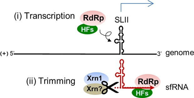 Schematic model depicting the mechanism of JEV sfRNA formation. The JEV sfRNA is likely made (i) by transcription initially by RdRp in conjunction with other host factors (HFs), and (ii) the synthesized products could be further trimmed by exoribonuclease XRN1 and/or other unidentified enzymes.