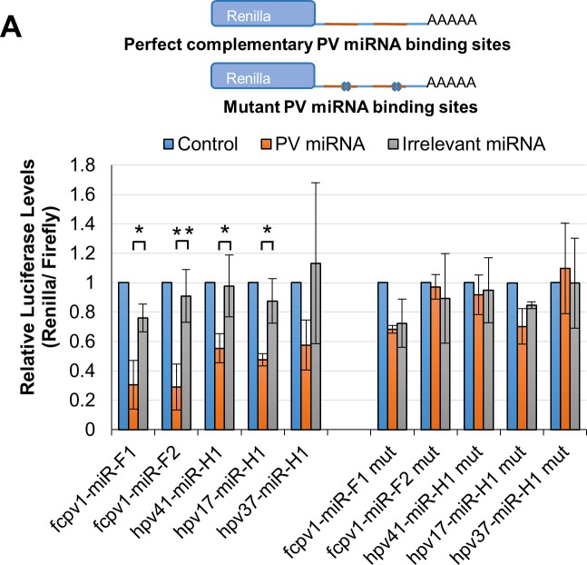 PV-encoded miRNAs are active in RISC. RISC reporter assays for the PV-encoded miRNAs where HEK293 cells were co-transfected with a firefly luciferase transfection control and Renilla luciferase reporter with either perfectly complementary sequence matches for each indicated miRNA, or its respective negative control seed complement mutant. Either of these were co-transfected with control empty miRNA expression vector (blue), the relevant PV miRNA-expression vector (orange), or negative control irrelevant miRNA expression vector (SV40) (gray). Average Renilla luciferase activity relative to firefly luciferase normalized to empty miRNA expression vector control is shown for fcpv1-miR-F1 (N = 3), fcpv1-miR-F2 (N = 5), hpv41-miR-H1 (N = 5), hpv17-miR-H1 (N = 3), and hpv37-miR-H1 (N = 4). Statistical test performed was a Two-Sample t Test. The average Renilla luciferase activity normalized to firefly luciferase activity is shown, error bars indicate Standard Error, and asterisks indicate statistical significance, (*) p≤0.05; (**) p≤0.01.