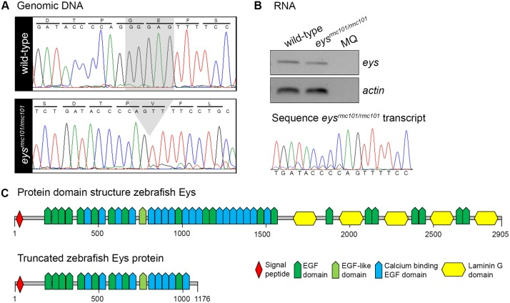 Characterization of a stable eys rmc101/rmc101 zebrafish line. (A) Sanger sequencing identified a five base pair deletion in exon 20 in eys rmc101/rmc101 zebrafish. (B) Representative gel image of RT-PCR analysis using RNA from a pool of larvae (n = 15), which shows that eys transcripts are present in both wild-type and eys rmc101/rmc101 zebrafish (upper panel). Sanger sequencing confirmed the presence of the five base pair deletion in the eys rmc101/rmc101 transcript (lower panel). (C) Protein domain structures of wild-type Eys and the truncated Eys protein that is predicted in eys rmc101/rmc101 zebrafish.