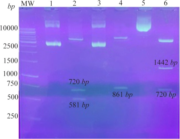 Confirmation of the recombinant plasmids using digestion: Lane 1: pEGFP-Hsp20, Lane 2: pEGFP-Hsp20 digested by Nhe I/ Hind <t>III</t> (581 bp +720 bp ), Lane 3: pEGFP-NS3, Lane 4: pEGFP-NS3 digested by Xho I/ Hind III (861 bp ), Lane 5: pEGFP-Hsp20-NS3, Lane 6: pEGFP-Hsp20-NS3 digested by Nhe I/ Hind III (1442 bp +720 bp ). MW is a molecular weight marker (1 kb , Fermentas).