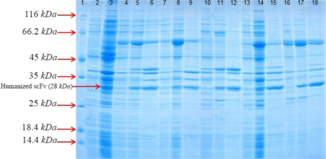 SDS–PAGE analysis of co-expressed anti-CD20 huscFv with different cytoplasmic molecular chaperones after induction with 0.4 Mm IPTG for 4 hr at 30° C , washed and resuspended in lysis buffer 10 ml of lysis buffer (100 mM NaCl, 50 mM NaH2PO4 at pH=8.0). Lane 1: the standard protein weight marker. Lane 2: whole cell lysate supernatant from uninduced cells without chaperone plasmid set. Lane 3: whole insoluble pellet from uninduced cells without chaperone plasmid set. Lanes 4–6: samples of different extracts from E. coli BL21 (DE3)/pET22b-huscFv/pG-KJE8 (Lane 4: supernatant from uninduced cells, Lane 5: supernatant from 4 hr , Lane 6: pellet from 4 hr ). Lanes7–9: samples of different extracts from E. coli BL21 (DE3)/pET22b-huscFv/pGro7 (Lane 7: supernatant from uninduced cells, Lane 8: supernatant from 4 hr , Lane 9: pellet from 4 hr ). Lanes 10–12: samples of different extracts from E. coli BL21 (DE3)/pET22b-huscFv/pKjE7 (Lane 10: supernatant from uninduced cells, Lane 11: supernatant from 4 hr , Lane 12: pellet from 4 hr ). Lanes 13–15: samples of different extracts from E. coli BL21 (DE3)/pET22b-huscFv/pG-Tf2 (Lane 13: supernatant from uninduced cells, Lane 14: supernatant from 4 hr , Lane 15: pellet from 4 hr ). Lanes 16–18: samples of different extracts from E. coli BL21 (DE3)/pET22b-husc Fv/pTf16 (Lane 16: supernatant from uninduced cells, Lane 17: supernatant from 4 hr , Lane 18: pellet from 4 hr ).