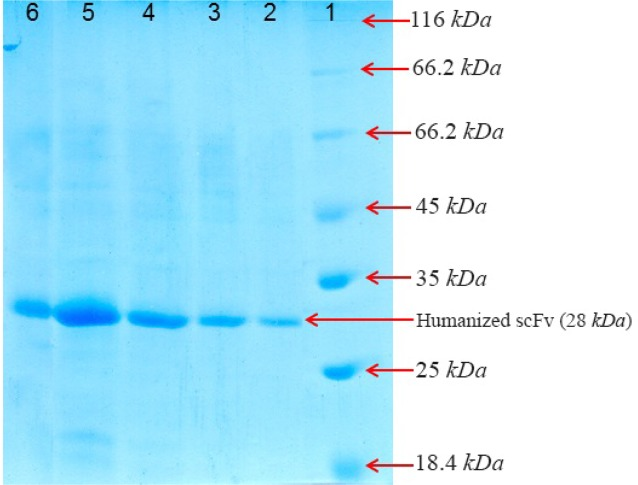 SDS-PAGE analysis of the purified recombinant huscFv in BL21 (DE3) after gel filtration chromatography and washing with buffer A (5 mM and 20 mM of imidazole). Lane 1: the standard protein weight marker Lane 2: purified huscFv/pTf16 Lane 3: purified huscFv/pGro7 Lane 4: purified huscFv/pG-KJE8 Lane 5: purified huscFv/pKjE7 Lane 6: purified huscFv/pG-Tf2