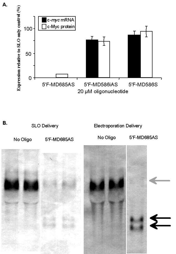 The effects of an RNase H-active, chimeric methylphosphonodiester / phosphodiester antisense oligodeoxynucleotide on c- myc  mRNA and c-Myc protein in KYO1 cells. (A) Relative levels of mRNA and protein at 4 h post intracytoplasmic delivery by streptolysin O permeabilization were determined by densitometry of Northern and Western blots. Data represent the mean and standard deviation of 3 replicates. The structures of the antisense oligodeoxynucleotide, and inverted antisense and sense controls are given in Table   1 . (B) Northern blots of c- myc  mRNA at 4 h following oligodeoxynucleotide delivery by streptolysin O permeabilization and by electroporation of KYO1 cells. Grey arrow; full length mRNA. Black arrows; RNase H-generated 5' fragments of mRNA.