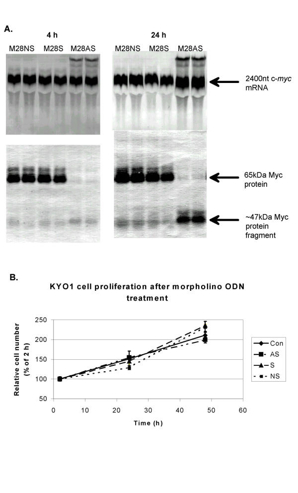 Effects of an RNase H-inactive morpholino antisense oligonucleotide on c- myc  mRNA, c-Myc protein, and proliferation of KYO1 cells. The antisense, and control sense and nonsense oligonucleotides (Table   1 ) were delivered into cells by streptolysin O permeabilization from an external concentration of 20 μM. (A) Upper panels; Northern blots of mRNA at 4 and 24 h. Lower panels; Western blots of c-Myc protein at 4 and 24 h. The 47 kDa truncated protein containing the c-Myc epitope recognised by the antibody mix resulted from initiation of translation at an in-frame AUG 300 bases downstream of the c-Myc 2 AUG initiation codon [  22 ]. (B) Cell number relative to that at 2 h after loading cells with oligonucleotide. Values are the mean and standard deviation of 3 replicates.