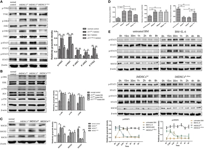 Interleukin-6 (IL-6)-mediated suppressed expression of SOCS3 resulting in the hyperactivation of the JAK/STAT pathway in CD11b + Gr-1 − early-stage MDSCs (e-MDSCs). Western blotting was performed to detect the JAK/STAT (A) and MAPK (B) on the whole-cell extracts of primary CD11b + Gr-1 − e-MDSCs isolated from different IL-6-expressing tumors. (C) The protein expression of SOCS1–3 in primary CD11b + Gr-1 − e-MDSCs. (D) The mRNA of SOCS1–3 in primary CD11b + Gr-1 − e-MDSCs was examined by RT-PCR. (E) Bone marrow (BM) cells were treated with 4T1 NC and 4T1 IL-6low separately to induce iMDSCs NC and iMDSCs IL-6low . The activation status of the JAK/STAT pathway downstream of IL-6 signaling in induce MDSCs (iMDSCs) was detected at different time point. BM cells exposed to IL-6 (40 ng/mL) for 15 min were as control. The levels of phosphorylated JAK1 (p-JAK1), p-JAK2, p-TYK2, p-STAT1, p-STAT3, p-P38, p-ERK, and p-JNK were compared using the density ratio of phosphorylated protein to total protein. The levels of the suppressor of cytokine signaling (SOCS) protein were compared using the density ratio of the indicated protein to β-actin (* P