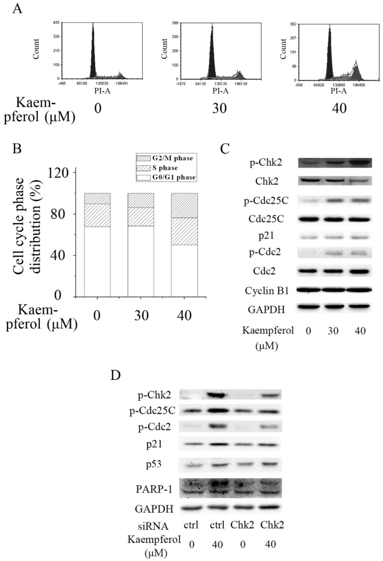 Kaempferol induced G2/M cell cycle arrest in A2780/CP70 cells via Chk2. ( A , B ) Flow cytometry assays revealed that kaempferol induced G2/M cell cycle arrest in A2780/CP70 cells; ( C ) Kaempferol increased the expression of p-Chk2, p-Cdc25C, p21 and p-Cdc2, but had no influence on the expression of Cyclin B1 in A2780/CP70 cells; ( D ) Knockdown of Chk2 attenuated kaempferol-induced up-regulation of p-Chk2, p-Cdc25C, p21 and p-Cdc2, but had no effect on the expression of p53 and cleavage of PARP-1 in A2780/CP70 cells. Glyceraldehyde-3-phosphate dehydrogenase (GAPDH) served as the loading control. Ctrl is short for control.
