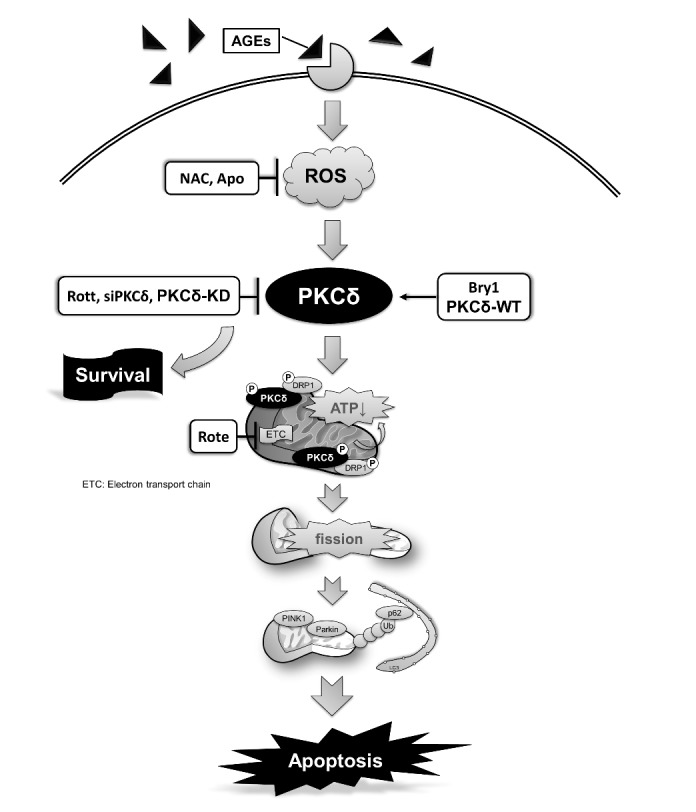 Molecular events of ROS-dependent PKCδ activation involved in the AGE-BSA-induced <t>cardiomyocyte</t> apoptosis. PKCδ activation is involved in the regulation of AGE-BSA-induced cell apoptosis via ROS production and may play a key role in the development of cardiac mitochondrial dysfunction in rats with diabetes or obesity.