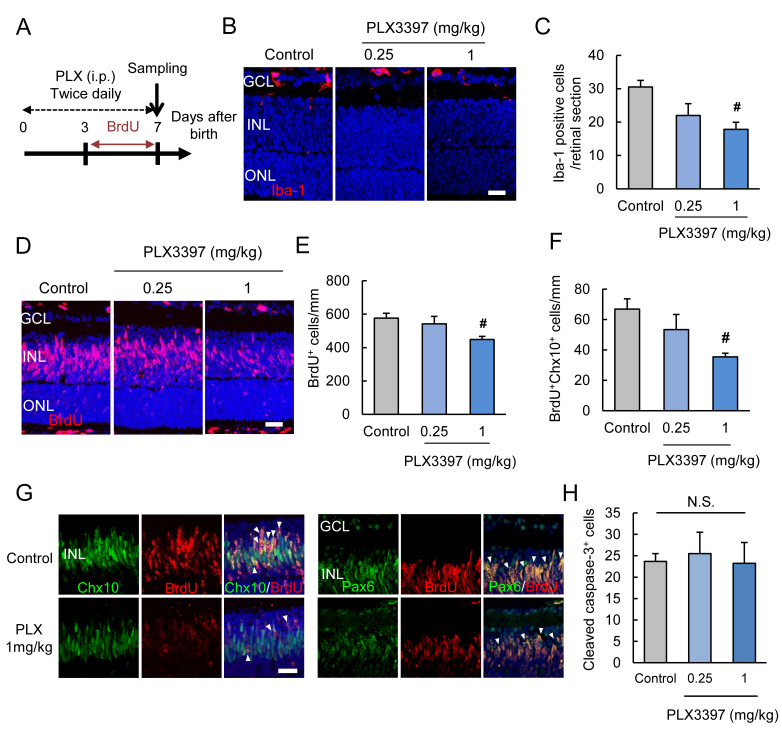 PLX3397 treatment decreased the number of microglia and BrdU-positive proliferative cells. A : PLX3397, a colony-stimulating factor 1 receptor (CSF1R) inhibitor, is treated to neonatal mice by intraperitoneal injection (twice daily) to deplete the microglia. B , C : The treatment decreases the number of Iba-1-positive microglia (red). D, E : PLX3397 decreases the number of 5-bromo-2′-deoxyuridine (BrdU)-positive proliferative cells (red). F , G : PLX3397 decreases the BrdU and retinal precursor cell markers, Chx10 or Pax6 (green) double-positive cells. The quantitative data show the decrease in the BrdU and Chx10 double-positive cells by PLX3397 treatment. H : PLX3397 does not alter the cleaved caspase-3-positive cells. Data are the mean ± standard error of the mean (SEM; n=4). # p