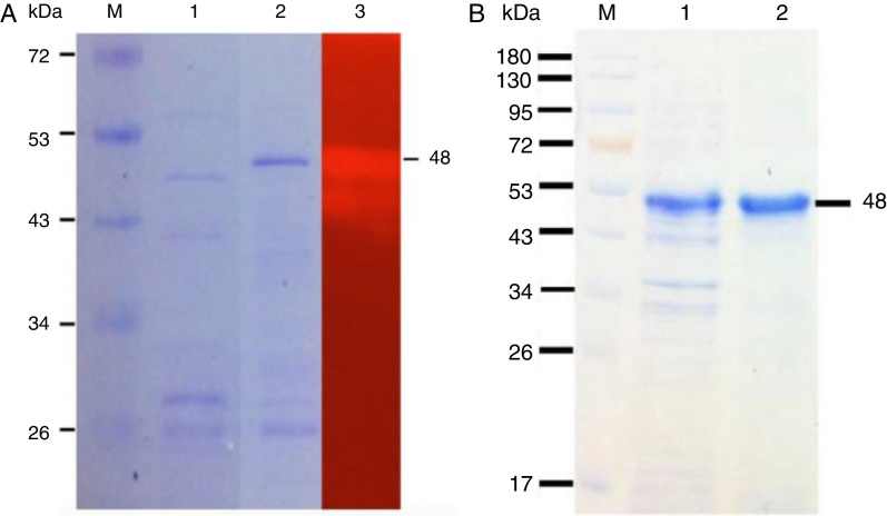 SDS-PAGE and zymogram analysis of the endoglucanase (A) and the purified recombinant endoglucanase (B) from A. fumigatus DBiNU-1. The protein samples (30 μg) were loaded on the gel and subjected to electrophoresis. (A) M, protein marker; 1, the cell-free supernatant from K. lactis GG799; 2, the cell-free supernatant from K. lactis harboring pKLAC2- Cel7 ; 3, zymogram analysis of the endoglucanase after Congo red staining. (B) M, protein marker; 1, crude recombinant endoglucanase; 2, purified recombinant endoglucanase.