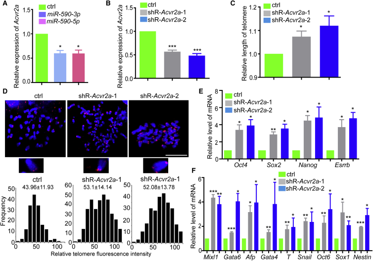 Inhibition of Acvr2a Improves Telomere Re-elongation to Promote Pluripotency in Pre-iPSCs (A) MiR-590-3p or miR-590-5p downregulated the mRNA level of Acvr2a detected by qRT-PCR. Data shown are the mean ± SD (n = 3). (B) Detecting the efficiency of Acvr2a knockdown in pre-iPSCs. Data shown are the mean ± SD (n = 3). (C) Downregulation of Acvr2a promoted telomere elongation. Data shown are the mean ± SD (n = 3). (D) FISH staining of telomeres and histogram statistics showed the promotion of telomere elongation by downregulating Acvr2a . Scale bar indicates 10 μm. (E) Stemness markers were upregulated in Acvr2a knockdown pre-iPSCs. Data shown are the mean ± SD (n = 3). (F) Acvr2a knockdown increased the pluripotency of pre-iPSCs. Data shown are the mean ± SD (n = 3). For all data, ∗ p