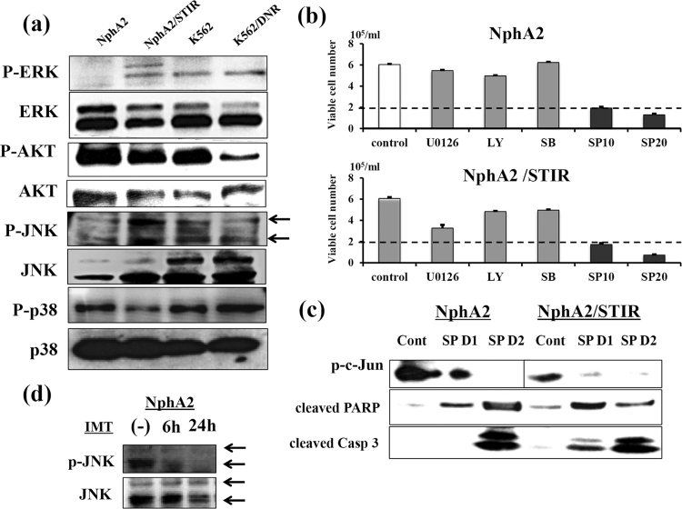Effects of cell signaling pathway inhibitors. (a) Western blot analysis of cellular signaling pathway proteins and their phosphorylated forms in the indicated cell lines. (b) Effects of various inhibitors on cellular signaling pathways in NphA2, NphA2/STIR, K562 and K562/DNR cells. Cells were plated at 2 × 10 5 /ml in the presence of U0126 (ERK inhibitor, 10 μM), LY294002 (AKT inhibitor, 10 μM), SB203580 (p38 inhibitor, 25 μM), or SP600125 (JNK inhibitor, 10 and 20 μM). Viable cell number was counted on day 2. Culture experiments were performed in triplicate. Data are shown as mean ± SD. (c) NphA2 and NphA2/STIR cells were cultured with or without SP600125 (20 μM) for 1 or 2 days (D1 and D2, respectively) and then examined for phosphorylated c-jun, cleaved PARP and cleaved caspase 3 expression. Because of the weaker expression of p-c-Jun of NphA2/STIR, p-c-Jun Western blotting of NphA2/STIR needed longer exposure than that of NphA2. (d) Effect of IMT on phosphorylated JNK of NphA2 cells were analyzed. Six and 24 h after IMT treatment (10 μM), cells were collected and phosphorylated JNK and total JNK expression were examined by the Western blotting. Arrowhead denotes JNK1 (lower) and JNK2 (upper), respectively.