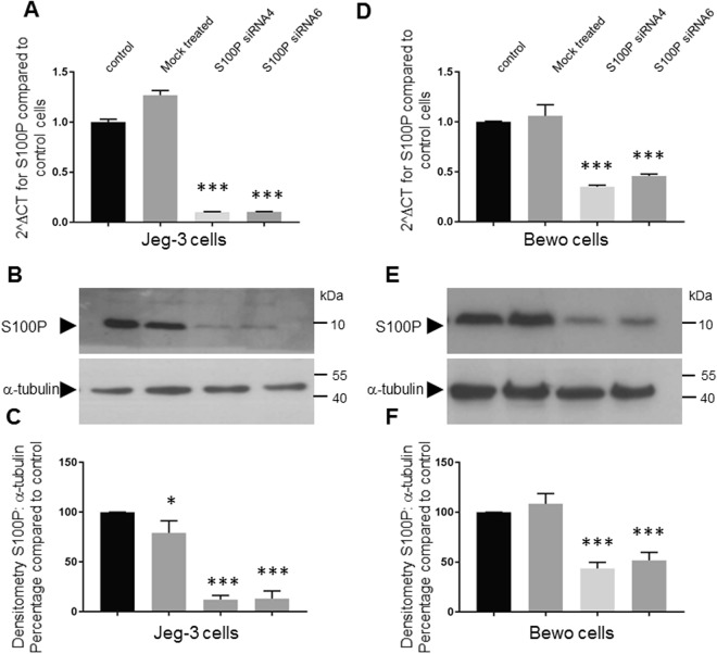 Specific knock-down of S100P in Jeg-3 and Bewo trophoblastic cell lines. Bewo and Jeg-3 cells were incubated in the presence of different S100P or control siRNAs for 48 hours prior to collection for mRNA qPCR analysis ( A , D ) or 72 hours prior to collection for protein Western blotting ( B , C , E , F ). mRNAs were isolated using TRIS reagent followed by reverse transcription and quantitative PCR analysis using primers for S100P and β-actin, as indicated in Methods. Data is presented as 2 ∆ CT mean values ± SD of 3 independent samples of a representative experiment compared to non-treated control samples. ***P