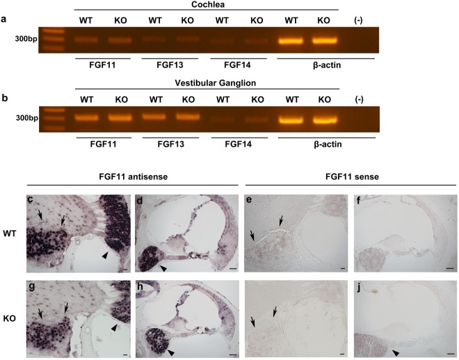 Expression and localisation of other FHFs mRNA in the inner ear. ( a ) Detection of <t>FGF11,</t> FGF13, and FGF14 mRNA expression by RT-PCR in cochleae of WT and FGF12-KO mice. β-actin positive controls are shown. (−) indicates reaction products without <t>cDNA</t> as a negative control. These gel images are cropped, and full-length images are presented in Supplementary Information 3 . ( b ) Detection of FGF11, FGF13, and FGF14 mRNA expression by RT-PCR in vestibular ganglia of WT and FGF12-KO mice. ( c , d ) FGF11 mRNA localisation in the WT mouse inner ear by in situ hybridisation. ( e , f ) In situ hybridisation images on the WT mouse inner ear using the sense probe as a negative control. ( g , h ) FGF11 mRNA localisation in the FGF12-KO mouse inner ear by in situ hybridisation. ( i , j ) In situ hybridisation images of the FGF12-KO mouse inner ear using the sense probe as a negative control. Black triangles indicate spiral ganglions, and black arrows indicate vestibular ganglions in ( c – j ). Scale bar: 50 µm.