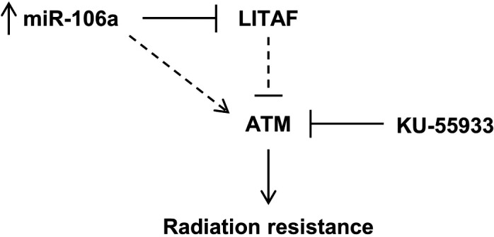 Proposed model by which miR‐106a confers radiation resistance. miR‐106a upregulates  ATM  expression through  LITAF  knockdown, to inhibit senescence and confer radioresistance in prostate cancer.  KU ‐55933 has been identified as a therapeutic intervention for miR‐106a‐induced radioresistance.
