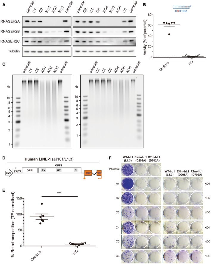 Reduced LINE ‐1 retrotransposition in RN ase H2 null HeLa cells Western blot analysis shows absence of RNASEH2A and reduced RNASEH2B and C in RNASEH2A‐KO clones (KO1‐6), compared to parental cells or control clones (C1‐5). Tubulin was used as a loading control. RNase H assay shows absence of activity against single‐embedded ribonucleotides in KO clones, with a smaller, but consistent reduction in all control clones. Activity in parental HeLa cells set at 100%. Data points represent the mean of three technical replicates for individual clones. Lines indicate the mean of six biological replicates (C1‐6 and KO1‐6) ± SEM. High levels of genome‐embedded ribonucleotides in KO clones. Genomic DNA isolated from parental cells, KO and control clones, was RNase H2 treated and separated by alkaline gel electrophoresis. Smaller fragments indicate larger numbers of embedded ribonucleotides. Schematic of retrotransposition vector JJ101/L1.3 (see also Fig EV1 A). Within L1‐ORF2p, relative positions of EN (endonuclease), RT (reverse transcriptase) and C (cysteine‐rich) domains are indicated. Orange box with backward BLAST label depicts the retrotransposition indicator cassette mblastI . Quantification of L1‐WT retrotransposition, normalised to the level in parental cells and normalised for transfection efficiency (TE), set to 100% for comparison. Data points represent the mean of three technical replicates for individual clones. Lines indicate the mean of six biological replicates (C1‐6 and KO1‐6) ± SEM (representative of six independent experiments). Mann–Whitney test; ** P