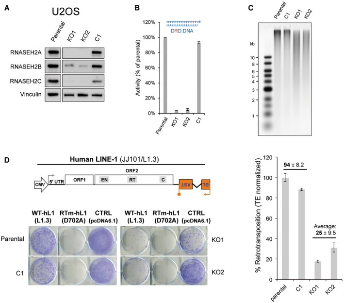 Reduced LINE ‐1 retrotransposition in RN ase H2 null U2 OS cells Western blot analysis shows absence of RNASEH2A and reduced RNASEH2B and C in RNASEH2A‐KO clones (KO1, KO2), compared to parental cells or a control clone (C1). Vinculin was used as a loading control. RNase H assay shows absence of activity against single‐embedded ribonucleotides in KO clones, compared to control cells. Activity in parental U2OS cells set at 100%. Mean ± SD for two independent experiments. High levels of genome‐embedded ribonucleotides in U2OS RNASEH2‐KO clones. Genomic DNA was isolated from parental cells, KO and control clones, RNase H2 treated and separated by alkaline gel electrophoresis. Smaller fragments indicate more genome‐embedded ribonucleotides. Schematic of plasmid JJ101/L1.3 and representative retrotransposition and toxicity assays conducted in parental U2OS cells, a control clone (C1), and two RNASEH2A‐KO clones (KO1 and KO2). Cells were transfected with vectors containing an active human LINE‐1 (WT‐hL1, element L1.3), an RT‐mutant (RTm‐hL1, L1.3 D702A), or a toxicity control vector (CTRL, pcDNA6.1). Quantification of L1‐WT retrotransposition, with the level in parental cells set to 100% for comparison. Plotted, mean ± SD for three technical replicates. Numbers indicate the average ± SD of n = 2 controls (parental, C1) and n = 2 (KO1, KO2) (representative of three independent experiments). Source data are available online for this figure.