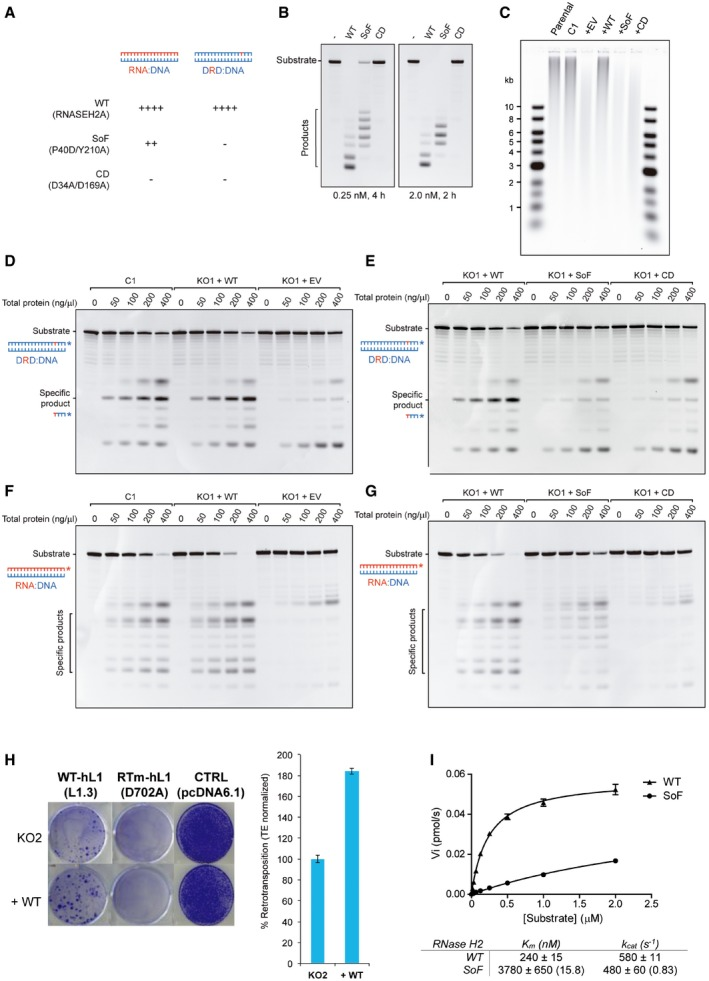 Complementation of RNASEH 2A‐ KO HeLa cells Schematic of substrates used in RNase H activity assays. These assays either use an 18‐bp RNA:DNA hybrid (left), or a short dsDNA containing a single‐embedded ribonucleotide (DRD:DNA). RNASEH2A‐WT can cleave both with high efficiency (++++), whereas RNASEH2A‐CD (with D34A and D169A mutations) cannot cleave either (−). The separation of function mutant (SoF, with P40D and Y210A mutations) retains some activity against RNA:DNA heteroduplexes (++), but has virtually no activity against single‐embedded ribonucleotides (−). RNase H2 SoF has reduced activity against RNA:DNA heteroduplexes and does not fully process the hybrid, even at high concentration and/or long incubation times. RNase H activity was measured using the 18‐bp RNA:DNA substrate, separating products by denaturing PAGE after cleavage with RNase H2. WT, SoF and CD RNase H2 were used at 0.25 nM for 4 h (left) or 2.0 nM for 2 h (right). Note the different pattern of products generated for SoF and WT. As expected, the high levels of genome‐embedded ribonucleotides in RNASEH2A‐KO cells are rescued only by complementation with wild‐type RNASEH2A (+WT), not by SoF RNASEH2A (+SoF), CD RNASEH2A‐A (+CD) or the empty vector (+EV). Genomic DNA was isolated from parental cells, a control clone (C1) and the four complemented cell lines (+EV, +WT, +SoF and +CD), RNase H2 treated and separated by alkaline gel electrophoresis. Smaller fragments indicate larger numbers of embedded ribonucleotides. Representative gels (used for quantifications in Figure 5 F and G) with results from RNase H activity against single‐embedded ribonucleotides (D and E) and activity against RNA:DNA heteroduplexes (F and G) assays conducted with lysates from the indicated cell lines. Because RNase H1 is expressed in all of these cells, activity measured against RNA:DNA heteroduplex substrate in RNASEH2A‐KO cell lysates is not completely absent. In addition, other nucleases present in the cell lysate act (