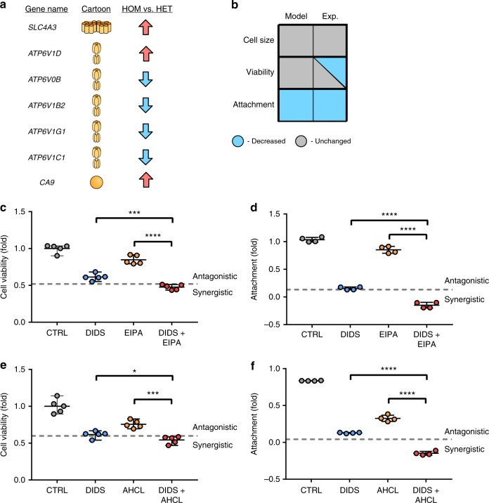 Application of the qualitative network to murine embryonic fibroblasts. Expansion of the QN to p53 −/− , Kras G12D/+ (HET) and p53 −/− , Kras G12D/G12D (HOM) MEFs. a Transport proteins deregulated within HOM MEFs when compared to HET MEFs. Proteins are upregulated (red arrows), downregulated (blue arrows), or unchanged (grey). b Phenotype change for MEFS when HOM MEFs are compared to HET MEFs. The model output represents the physiological behaviour predicted by the model when proteins from ( a ) are deregulated in the model in the same manner as in the gene array. Experimental phenotype represents behaviour reported previously 42 , where it is known. The model predicts that attachment will be significantly different between the two cell types, but viability and cell size will remain unchanged. c Effects of application of channel inhibitors to HOM MEFs in vitro showing application of 10 µM DIDs for 72 h, resulting in decreased cellular attachment (left), and application of 10 nM EIPA ± 10 µM DIDs (right). Data are technical replicates. Dotted lines represent calculated Bliss independence values. d Effects of application of 10 µM DIDs ± 10 nM EIPA on viability in HOM MEFs. e Effects of application of 10 µM DIDs ± 10 nM AHCL on attachment in HOM MEFs. f Effects of application of 10 µM DIDs ± 10 nM AHCL on viability in HOM MEFs.* P