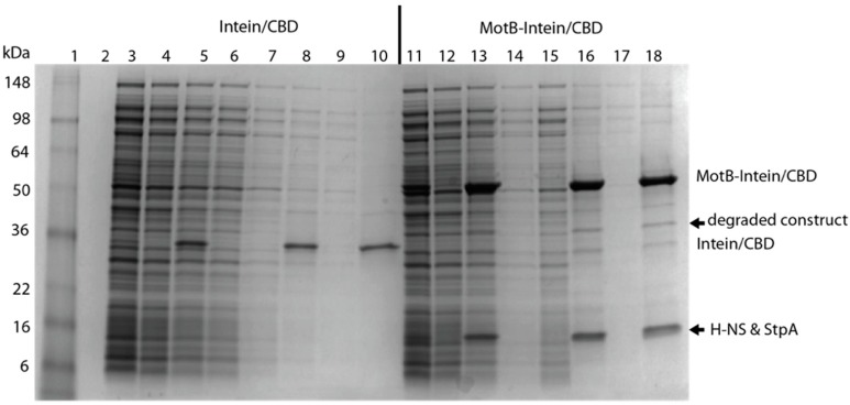 """MotB copurifies with H-NS and StpA. An SDS-PAGE gel, stained with Coomassie, is shown for the following samples obtained from BL21(DE3)/pLysE containing either the vector pTXB1 (lanes 3–10) or pTXB1-MotB (lanes 11–18): lysate applied to chitin resin (lanes 3 and 11); column flow through (lanes 4 and 12); resin sample after flow through (lanes 5 and 13); first and second column wash with buffer containing 500 mM NaCl (lanes 6, 7 and 14, 15); resin sample after second 500 mM salt wash (lanes 8 and 16); column wash with buffer containing 1 M NaCl (lanes 9 and 17); final resin sample after 1 M salt wash (lanes 10 and 18). Lane 1 corresponds to SeeBlue Plus2 protein standard; corresponding molecular weights are shown on the left. Bands corresponding to MotB-Intein/CBD and Intein/CBD are indicated. Species indicated with arrows were identified by mass spectrometry. The ~36 kDa protein labeled as """"degraded construct"""" was identified as partially degraded MotB-Intein/CBD. The ~16 kDa protein was identified as H-NS and StpA."""