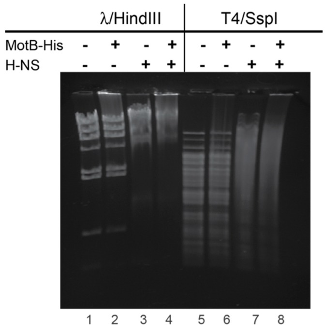 MotB and H-NS bind to both unmodified λ and GHme-C modified T4 DNA. Agarose gel shows the DNA (500 ng) λ or T4 DNA pretreated with HindIII and SspI restriction nucleases (lanes 1 and 5, respectively), after incubation with 60 pmol MotB (lanes 2 and 6), 60 pmol H-NS (lanes 3 and 7), or both (lanes 4 and 8). DNA was visualized by ethidium bromide staining and UV illumination.
