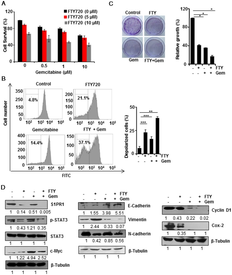 FTY720 enhanced the effects of gemcitabine in pancreatic cancer cell lines. (A) MIA PaCa-2 cells were treated with indicating concentrations of FTY720and gemcitabine (for 24h) and cell survival was analyzed using MTT assay. (B) MIA PaCa-2 cells were treated with FTY720 in combination with gemcitabine and the loss in mitochondrial membrane potential was quantified using DiCO6(3) staining after 24h. (C) The clonogenic potential of the cells was quantified after 24 h pre-treatment of cells with the drug alone and the combinations and incubating for 24h. Cells were collected and plated again as 1000 cells per well and allowed them to grow in drug free environment. Representative images were shown in left panel. Then the colonies were fixed with 10% neutral buffered formalin and stained with crystal violet. The quantification was performed using TECAN spectrophotometer at 590nm after melting the stained colonies (right panel). (D) MIA PaCa-2 cells were treated with FTY720 and in combination with gemcitabine for 24h and the expression of S1PR1, p-STAT3, STAT3, and c-Myc; EMT markers, E-cadherin, N-cadherin and Vimentin and proliferative markers CyclinD1 and Cox-2 expression were analyzed using western blotting.β-Tubulin served as internal control