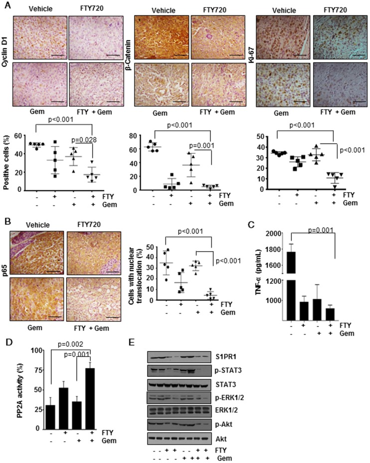 FTY720 in co-operation with gemcitabine inhibited cell proliferation and downregulated the activation of NF-kB and S1PR1/STAT3 pathways and PP2A activation in pancreatic cancer. (A) Immunohistochemical analysis of proliferative markers cyclin D1, β-catenin and Ki-67 in tissue samples (upper panel). The quantification positive cells are shown lower panel. (B) FTY treatment inhibited the activation of NF-κB and NF-κB dependent gene expression. Immunohistochemical analysis of nuclear translocation of p65, representative image (left panel) and quantification of nuclear positive cells (right panel). Statistical analysis was performed using one way ANOVA followed by post hoc Tukey test; * p≤0.001 vs control. (C) The circulatory TNF in serum was measured using ELISA. Statistical significance was calculated using t -test, * p≤0.001 vs control. (D) PP2A enzyme activity was measured using a commercially available kit. Statistical significance was calculated using t -test, ** p≤0.05 vs control. (E) FTY720 inhibited the S1PR1/STAT3 loop and downstream signaling in pancreatic cancer. Immunoblot analysis showing the expression of indicated proteins in tissue lysates of pancreatic cancer samples.