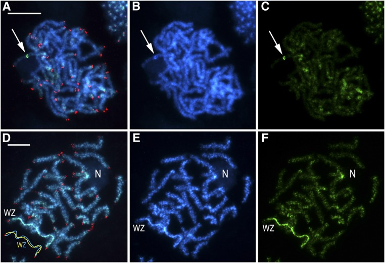 "Genomic in situ hybridization combined with the (TTAGG) n telomeric probe in pachytene chromosomes in male (a-c) and female (d-f) Choristoneura fumiferana . Female-derived genomic probe was labeled with fluorescein-12-dUTP (green), and the telomeric probe with Cy3-dUTP (red); chromosomes were counterstained with DAPI (blue). Panels (a-c) show a male pachytene complement; arrows indicate heterochromatic block highlighted with the female genomic probe. Panels (d-f) show a female pachytene complement; ""WZ"" label identifies the sex chromosome bivalent (see schematic drawing in the lower left corner of panel d), where discrimination of the W chromosome is provided by the female-derived genomic probe; ""N"" indicates a nucleolus associated with a heterochromatic region (showing strong hybridization signals of the female genomic probe in panel d-f) of an autosome bivalent. (a, d) Merged images of preparations hybridized with female-derived genomic probe and telomeric probe, and counterstained with DAPI; (b, e) DAPI staining pattern; (c, f) hybridization pattern obtained using female-derived genomic probe. Scale bars = 10 μm."