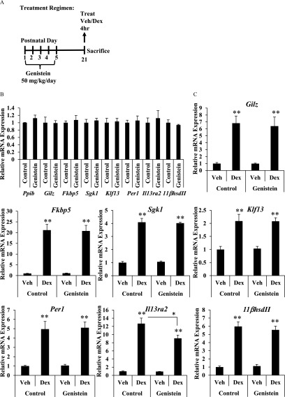 Effect of neonatal genistein exposure on glucocorticoid target gene expression prior to puberty. ( A ) Schematic representation of dosing schedule and experimental end points. ( B and C ) Relative mRNA expression of Ppib , Gilz , Fkbp5 , Sgk1 , Klf13 , Per1 , 11 β h s d I I , and Il13ra2 as measured by qRT-PCR 4 h following intraperitoneal injection of vehicle or 1 mg / kg Dex on PND21. ( B ) Basal gene expression was determined by comparing vehicle-treated genistein group to vehicle-treated controls. ( C ) Fold change was determined by reporting values relative to vehicle-treated controls. Values are normalized to the reference gene peptidylprolyl isomerase B ( Ppib ). Bar graphs show the mean ± SEM from 4 to 5 animals. ** p