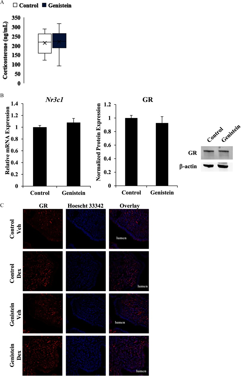 Effect of neonatal genistein exposure on ligand and GR expression. ( A ) Serum levels of corticosterone were measured in adult mice with intact ovaries and adrenal glands from serum collected between 0930 and 1130 hours in the morning. Data represent the mean of 11 – 12 animals ± SEM . ( B ) Relative mRNA expression of GR ( Nr3c1 ) was measured by qRT-PCR in adult ADX/OVX control and genistein-exposed mice. Expression was normalized to the reference gene Ppib and set relative to expression in control mice. GR protein levels, quantified by western blot analysis, were normalized to levels of the reference protein β -actin , which was not altered by treatment group (see Figure S5). GR protein levels were set relative to control mice. The results and image represent the mean of 4 – 5 animals ± SEM . ( C ) Representative images of GR expression and localization (red) in luminal epithelial and endometrial stromal cells. Hoescht 33342 was used to visualize nuclei (blue). Images were taken at 630 × . ADX/OVX, adrenalectomized/ovariectomized; Dex, dexamethasone; GR, glucocorticoid receptor; qRT-PCR, quantitative real-time polymerase chain reaction; Veh, vehicle.