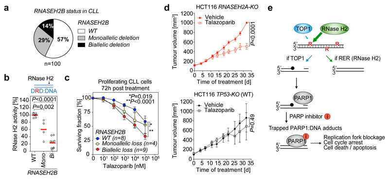 Talazoparib selectively suppresses growth of RNase H2 deficient tumours. a-c, PARP inhibitors selectively kill RNASEH2B- deficient chronic lymphocytic leukemia (CLL) primary cancer cells. a, RNASEH2B deletion frequency in a panel of 100 primary CLL samples, determined by multiplex ligation-dependent probe amplification (MLPA). b, Reduced RNase H2 activity in lysates from CLL samples with monoallelic and biallelic RNASEH2B deletions. Top, substrate schematic. Individual data points, mean of technical duplicates for each sample. Red lines, mean of individual genotypes ( n = 8 WT, 4 monoallelic and 9 biallelic deleted biologically independent primary CLL samples). Data normalized to mean of RNASEH2B-WT samples. c , Reduced survival of CLL cells with monoallelic and biallelic RNASEH2B loss following treatment with talazoparib. Individual points, mean ± s.e.m. ( n = 8, 4 and 9 CLL samples as in b ), each analysed in technical triplicates. P -values, unpaired two-tailed t-test ( b ) and two-way ANOVA ( c ). d , Selective inhibition of RNASEH2A-KO xenograft tumour growth. HCT116 TP53-KO RNASEH2A-WT or -KO cells were injected subcutaneously into bilateral flanks of CD-1 nude mice. Mice were randomized to either vehicle or talazoparib (0.333 mg/kg) treatment groups ( n = 8 animals / group) and tumour volumes measured twice-weekly. Mean ± s.e.m. P -value, two-way ANOVA. e , Model. Genome-embedded ribonucleotides (R) can be processed by TOP1 as an alternative to RNase H2-dependent RER. DNA lesions that engage PARP1 (black circles) are formed as a result, and PARP inhibitors induce PARP1 trapping on these TOP1-dependent lesions, causing replication arrest, persistent DNA damage and cell death. See also ED Fig 7 , 8 , ED Table 1 and Supplementary Table 3 .