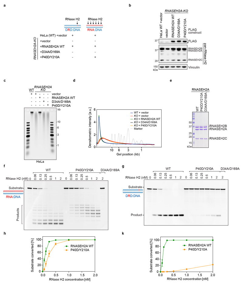 Related to Figure 2j. RNASEH2A P40D/Y210A is a separation-of-function mutant that cannot excise single DNA-embedded ribonucleotides, but cleaves RNA:DNA heteroduplexes (similar to the yeast rnh201-P45D-Y219A mutant 16 ). a, Schematic depicting enzymatic activity against two different <t>RNase</t> H2 substrates (DRD:DNA, dsDNA with embedded ribonucleotide, or RNA:DNA hybrids) in cell lines used in b-d and Fig 2j . WT and RNASEH2A-KO cells were transduced with either an empty vector (EV) or the indicated RNASEH2A constructs. b, Complementation of HeLa RNASEH2A-KO cells with FLAG-tagged RNASEH2A variants restores RNase H2 complex protein levels. WCEs from HeLa WT and RNASEH2A-KO cells stably expressing indicated lentiviral constructs were processed for immunoblotting with the indicated antibodies. Vinculin, loading control. Asterisk indicates a non-specific band. Representative of n = 3 biologically independent experiments. c , d, Complementation of HeLa RNASEH2A-KO cells with WT RNASEH2A, but not with the D34A/D169A (catalytic-dead) or P40D/Y210A (separation-of-function) mutants, rescues increased levels of genome-embedded ribonucleotides. c , Total nucleic acids from the cell lines shown in a , b were treated with recombinant RNase H2 and separated by alkaline agarose gel electrophoresis (representative of n = 4 experiments). d, Densitometric quantification of alkaline gel shown in c . e , Purified human RNase H2 complexes consisting of RNASEH2B, RNASEH2C and either RNASEH2A WT, P40D/Y210A or D34A/D169A subunits separated by SDS-PAGE and stained with Coomassie Blue ( n = 1). f-k , RNase H2 activity assays with fluorescein-labeled RNA:DNA substrate ( f ) or double-stranded DNA with a single incorporated ribonucleotide (DRD:DNA) ( g ) and increasing amounts of recombinant WT, P40D/Y210A or D34A/D169A RNase H2. Products were separated by polyacrylamide gel electrophoresis and detected by fluorescence imaging. Representative of n = 3 biologically independent experiments. h,k, Quantification of f , g . Product signal plotted relative to substrate signal per lane. Mean ±SD ( n = 3 biologically independent experiments).