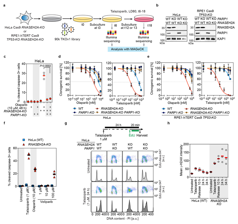 Related to Fig 3a-c. PARP1 trapping is the underlying cause of PARPi sensitivity in RNase H2-deficient cells. a, Schematic representation of CRISPR screens for suppressors of talazoparib sensitivity in RNase H2-deficient cells. Cas9-expressing cells were transduced with the TKOv1 library, talazoparib was added on day 6 (t6; HeLa: 20 nM, RPE1-hTERT: 50 nM) and cells were cultured in its presence until day 18 (t18). Cells were subcultured once at day 12 (RPE1) or 13 (HeLa). sgRNA representations in the initial (t6) and final (t18) populations were quantified by next-generation sequencing. Gene knockouts that were enriched at t18 over t6 were identified by MAGeCK 33 . b, CRISPR-mediated inactivation of RNASEH2A and/or PARP1 in cell lines used in c-e and Fig 3b . WCEs were processed for immunoblotting with the indicated antibodies. KAP1, loading control. Representative of n = 2 biologically independent experiments. c-e, Loss of PARP1 restores PARPi-resistance in RNASEH2A-KO cells. c, Percentage of cleaved caspase-3+ HeLa cells of indicated genotypes with or without olaparib treatment measured by flow cytometry (FACS). Individual values (open circles) with mean (red lines, n = 3 biologically independent experiments; P -value, unpaired two-tailed t-test). d,e. Clonogenic survival assays with HeLa ( d ) and RPE1-hTERT ( e ) cells of the indicated genotypes treated with olaparib (left) or talazoparib (right). Mean ±SD ( n = 3 biologically independent experiments). Solid lines, nonlinear least squares fit to a three-parameter dose response model. f. Trapping activity of PARPi correlates with the ability to induce apoptosis in RNASEH2A-KO cells. Quantification of cleaved caspase-3-positive HeLa WT and RNASEH2B-KO cells without treatment or treated with the indicated PARPi. Individual values with mean (black lines, n = 3 biologically independent experiments). Note that PARP-trapping activity decreases as follows: talazoparib > olaparib > veliparib 4 , 17 . g , PARPi-induced S-phase arrest in RNASEH2A-KO cells is alleviated in the absence of PARP1. Top, schematic of talazoparib and EdU treatment. Bottom, representative ( n = 3 biologically independent experiments) EdU (pseudocolor plots) and DNA content (histograms) FACS profiles of untreated and talazoparib-treated HeLa WT, PARP1-KO , RNASEH2A-KO and PARP1-KO/RNASEH2A-KO cells. DNA content was determined by propidium iodide (PI) staining. h Quantification of mean γ-H2AX intensities in experiments shown in Fig 3c . Individual values (open circles) with mean (red lines, n = 3 biologically independent experiments, ≥10,000 cells / sample / experiment analyzed).