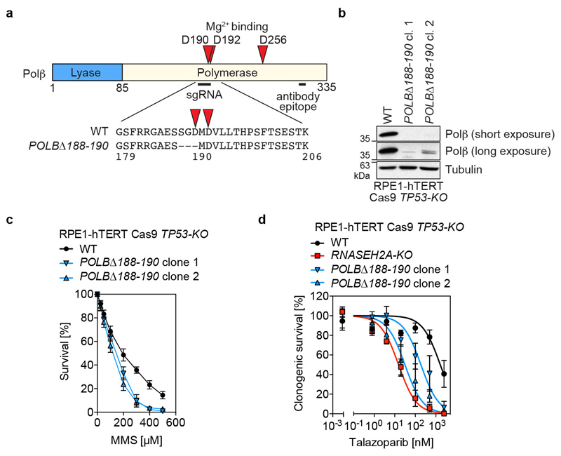 RNase H2-deficient cells are more sensitive to PARPi than DNA polymerase β mutants. a, Schematic representation of the POLBΔ188-190 CRISPR mutation. The Mg 2+ -coordinating aspartate residues (D190, D192 and D256, red triangles) are highlighted in the domain structure of the human Polβ protein. The sgRNA target site and antibody epitope are indicated by black lines. b, WCEs from parental RPE1-hTERT Cas9 TP53-KO cells and two POLBΔ188-190 clones were processed for immunoblotting with antibodies to Polβ and tubulin (loading control). Representative of n = 2 biologically independent experiments. c, The POLBΔ188-190 mutation impairs base excision repair. RPE1-hTERT Cas9 TP53-KO WT or POLBΔ188-190 cells were exposed to different concentrations of methyl-methanesulfonate (MMS) for 24 h, followed by growth in drug-free media for an additional 48 h. Cell viability was determined by the Cell Titer Glo assay. d, Sensitivity of RPE1-hTERT Cas9 TP53-KO WT, RNASEH2A-KO and POLBΔ188-190 cells to indicated talazoparib concentrations in clonogenic survival assays. Data in c and d represent mean ±SD, normalized to untreated cells ( n = 3 biologically independent experiments). Solid lines denote a nonlinear least-squares fit to a three-parameter dose response model.