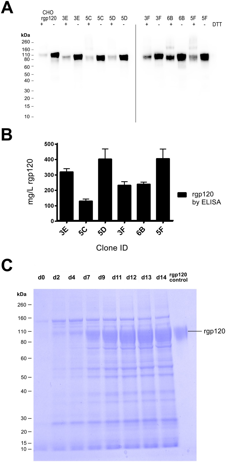 Analysis of A244_N332-rgp120 secreted from stable MGAT1 - CHO cell lines. Six stable MGAT1 - CHO cell lines identified with the ClonePix2 were selected as potential substrates for HIV vaccine production. (A) Immunoblot of affinity-purified rgp120 (50 ng per lane) produced by each of six A244_N332-rgp120 cell lines: 3E, 5C, 5D, 3F, 6B, and 5F. Purified A244_N332-rgp120 produced in normal CHO DG44 cells (692) was shown for purpose of comparison. (B) Comparison of A244_N332-rgp120 protein yields as determined by ELISA from the six MGAT1 - CHO cell lines. ( C) SDS PAGE of rgp120 produced by the 5F MGAT1 - CHO cell line. Supernatant samples (10 μ l per lane) collected over the time course of the culture were electrophoresed on a 4–12% NuPage PAGE SDS gel in MOPS buffer (Thermo Scientific, Waltham, MA). The gel was stained with Simply Blue (Thermo Scientific, Waltham, MA) and visualized using an Innotech FluoChem2 system (Genetic Technologies, Grover, MO).