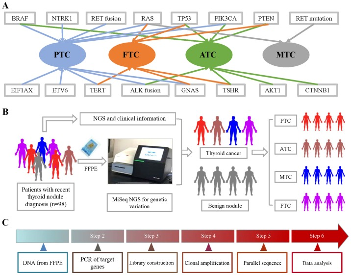Gene mutations and fusions in subtypes of TC and workflow of NGS. (A) BRAF, RAS, TERT, ETV6, EIF1AX, GNAS, PIK3CA, TP53 and NTRK1 mutations, as well as RET and ALK fusions, were found in PTC. BRAF, TERT, ALK fusion, GNAS, AKT1, PIK3CA, TP53 and PTEN were found in ATC. RAS, TERT, TSHR, GNAS, PENT and TP53 were found in FTC, while only RET and RAS mutations were found in MTC. (B) FFPE samples were obtained from 98 thyroid nodule patients, which was followed by CTC enumeration on NanoVelcro Chips. After collecting clinical information, we analyzed the correlation between pathological information and NGS results. (C) DNA from FFPE tissue was amplified for enrichment of target regions in a multiplex PCR reaction. Then, the library was prepared by ligating the PCR amplicons into platform-specific adapters and adding bar codes for specimen multiplexing. Finally, the library was enriched by clonal amplification (emPCR) and sequenced by massively parallel sequencing on the Ion Torrent PGM. The data analysis and variant calling were performed using bioinformatic pipelines followed by a custom SeqReporter algorithm for filtering and annotation of genetic variants. TC, thyroid cancer; NGS, next-generation sequencing; PTC, papillary thyroid cancer; ATC, anaplastic thyroid cancer; FTC, follicular thyroid cancer; MTC, medullary thyroid cancer; FFPE, formalin-fixed, paraffin-embedded.