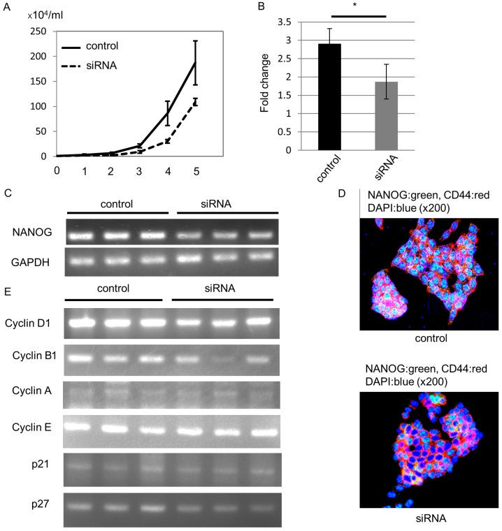 NANOG regulates colorectal cancer cell proliferation through the control of cyclin D1 expression. (A) Growth curve of HCT116 colorectal cancer cells. NANOG siRNA-transfected cells exhibited decreased cell proliferation compared to the control. (B) Quantitative RT-PCR (*P