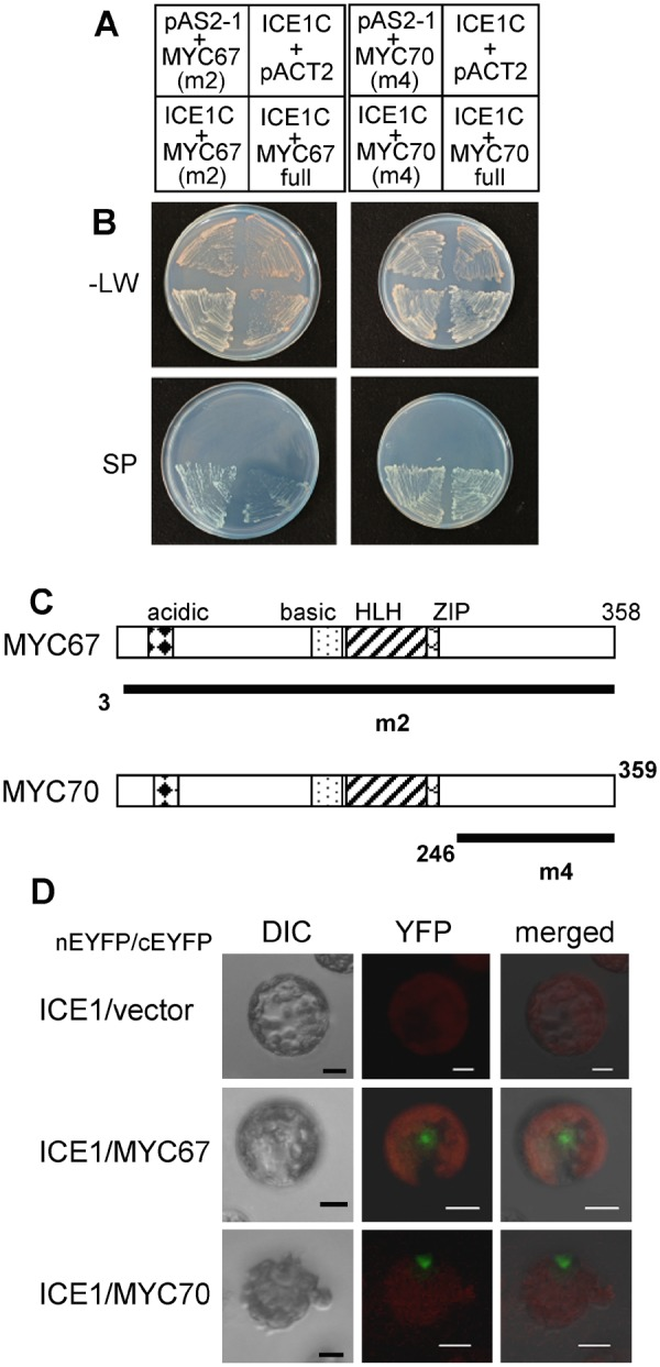 MYC67 and MYC70 interact with ICE1. Yeast 2-hybrid analysis. ( A ) A schematic representation of the bait (top) and prey (bottom) combinations. The yeast strains contained pAS2-ICE1-C (amino acids 267–494) as bait together with pACT-MYC67 m2 (amino acids 3–358), pACT2-MYC67 full (amino acids 1–358), pACT2-MYC70 m4 (amino acids 246–359), or pACT2-MYC70 full (amino acids1–359) as prey. pAS2-1 and pACT2 were used as negative controls. ( B ) The yeast strains were grown on synthetic dropout (SD) plates without leucine and tryptophan (−LW) or on selection plates (SP), which consisted of an SD plate containing X-α-gal and lacking leucine, tryptophan, histidine and adenine. ( C ) The domain structures of MYC67 and MYC70. Acidic, basic, helix-loop-helix (HLH), ZIP domains are presented. Black bars indicate the region of MYC67 m2 (amino acids 3–358) or MYC70 m4 (amino acids 246–359), respectively. ( D ) BiFC analysis indicated interaction between ICE1 and the MYC proteins. ICE1 was fused to N-terminal EYFP (enhanced yellow fluorescent protein), and the MYC proteins were fused to C-terminal EYFP. Each combination of constructs was transfected into Arabidopsis protoplasts. Differential interference contrast (DIC) images and the YFP fluorescence from the BiFC analysis are shown along with the merged image. The scale bar indicates 10 μm.