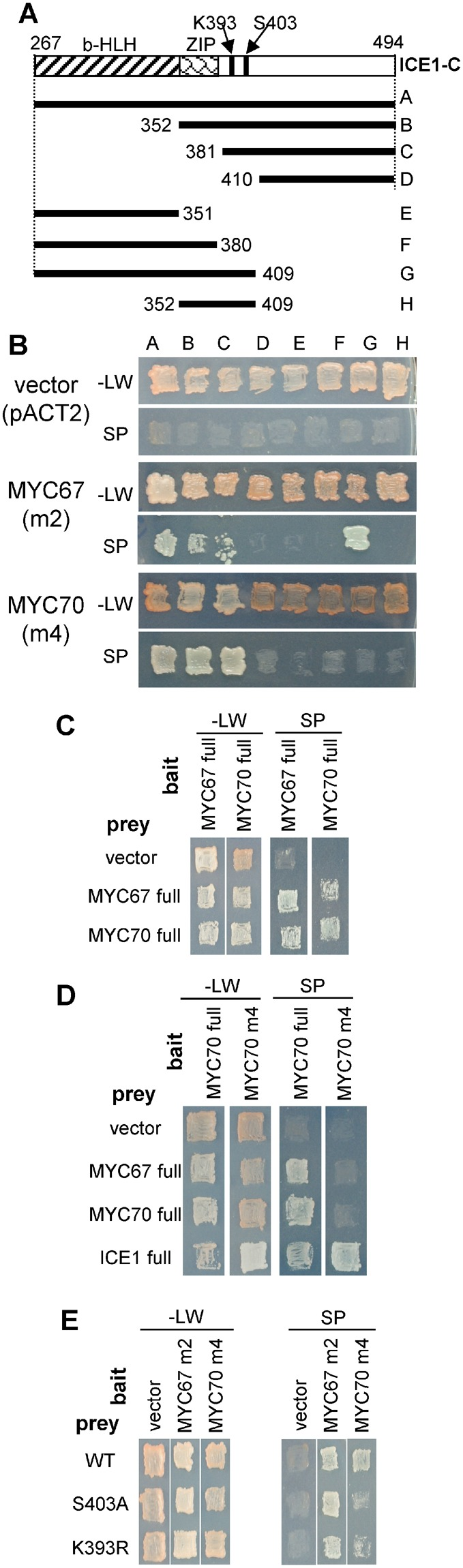 Interactions between ICE1, MYC67, and MYC70. ( A ) A schematic representation of the deletion constructs for ICE1. The indicated regions of ICE1 were cloned into the bait vector pGBKT7. ( B ) The interaction of ICE1 with MYC67 or MYC70 was assessed using the yeast 2-hybrid assay. The ICE1 bait plasmid was transformed with either pACT2 (vector control), pACT2-MYC67 m2 (amino acids 3–358), or pACT2-MYC70 m4 (amino acids 246–359). Yeast grown on SD media without leucine and tryptophan (upper, −LW) and on selection plates (lower, SP) are shown. ( C ) MYC67 and MYC70 form homodimers and interact with each other. Yeast strains containing full-length pGBKT7-MYC67 or pGBKT7-MYC70 as bait were transformed with pACT2 (vector control), full-length pACT2-MYC67 or full-length pACT2-MYC70 as prey. Yeast was incubated on −LW or on SP. ( D ) Only ICE1 was able to interact with the C-terminal region of MYC70 in the yeast 2-hybrid assay. MYC70 full was interacted with MYC67, MYC70, and ICE1, but MYC70 m4 was able to interact with ICE1. ( E ) The effect of ICE1 point mutations, S403A or K393R, on the interactions with MYC67 and MYC70.