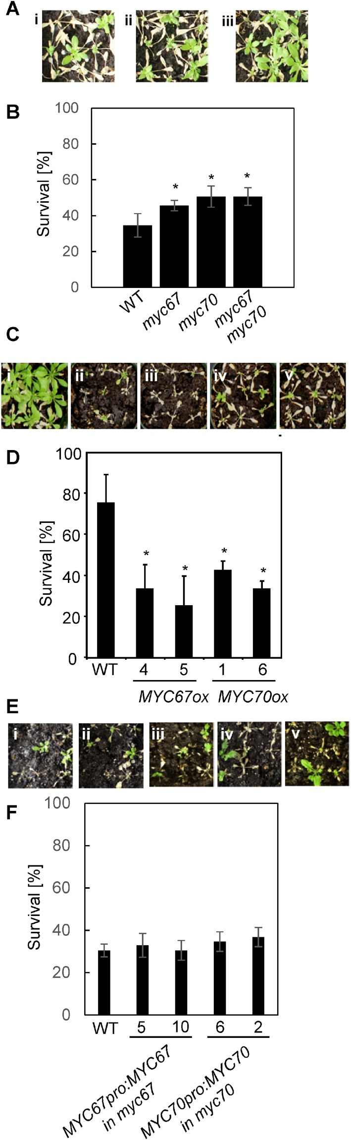 MYC67 and MYC70 negatively regulate freezing tolerance. ( A ) The freezing tolerance of myc67 and myc70 after cold acclimation. Representative wild-type (i), myc67 (ii) and myc70 (iii) plants that were treated with −7 °C are shown. ( B ) Quantification of the survival rates for the cold-acclimated wild-type, myc67 , and myc70 plants after a −7 °C freezing treatment. The data indicate the means and standard errors (n = 6). The tolerance of myc67 , myc70 , and myc67 myc70 mutants was significantly different from that of wild-type plants (t-test, P