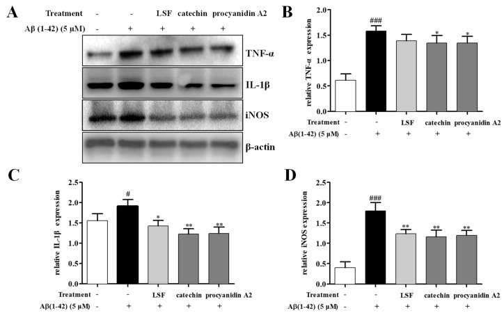 The protein expressions of TNF-α, IL-1β, and iNOS in Aβ(1-42)-induced BV-2 cells under the treatments of LSF (0.469 µg/mL), catechin (10 µM), and procyanidin A2 (10 µM). BV-2 cells were pretreated with 5 µM Aβ(1-42) for 12 h, followed by incubations of LSF, catechin, and procyanidin A2 for another 12 h. ( A ) After treatment, cell lysates were harvested and subsequently employed for TNF-α, IL-1β, and iNOS measurements using Western blotting. Band intensities of TNF-α ( B ), IL-1β ( C ), and iNOS ( D ) were quantified using Image J software and normalized to β-actin. Bars are representatives of three independent experiments. BV-2 cells treated with medium alone were set as the control group, and BV-2 cells treated with 5 µM Aβ(1-42) alone were set as the Aβ group. # p