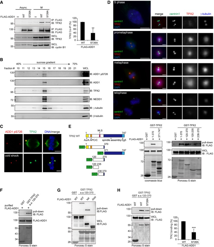 ADD1 phosphorylation at S726 is important for its interaction with TPX2 HeLa cells expressing FLAG‐ADD1 WT or the S726A mutant remained asynchronized (Async.) or were synchronized at the M phase. Whole‐cell lysates were incubated with anti‐FLAG M2 affinity resins. The bound proteins were eluted from the resins with FLAG peptides and analyzed by immunoblotting (IB) with anti‐FLAG and anti‐TPX2 antibodies. WCL, whole‐cell lysates. Centrosomes were isolated from mitotic‐arrested HeLa cells using discontinuous gradient ultracentrifugation. The fractions enriched with γ‐tubulin were analyzed by immunoblotting with the indicated antibodies. HeLa cells were either placed at 4°C for 30 min (cold shock) or left at 37°C before fixation and then stained for TPX2 (green), and ADD1 pS726 (red). The arrow indicates the spindle pole region. Scale bars, 5 μm. RPE1 cells were placed at 4°C for 30 min before fixation and then stained for centrin1, TPX2, γ‐tubulin, and DNA. Scale bars, 10 μm (main image) and 1 μm (zoomed images). For the in vitro GST pull‐down assay, immobilized GST‐TPX2 fusion proteins were incubated with the cell lysates from HEK293 cells expressing FLAG‐ADD1. The bound proteins were analyzed by immunoblotting (IB) with anti‐FLAG antibody. The GST fusion proteins were visualized by Coomassie blue stain or Ponceau S stain. FLAG‐ADD1 was transiently expressed in HEK293 cells, affinity‐purified by FLAG beads, and eluted with a FLAG peptide. Immobilized GST‐TPX2 aa 120–370 fusion protein or GST alone (control) was incubated with purified FLAG‐ADD1. The bound proteins were analyzed by immunoblotting (IB) with anti‐FLAG antibody. Immobilized GST‐TPX2 aa 120–370 fusion protein or GST alone (control) was incubated with the cell lysates from HEK293 cells transiently expressing FLAG‐ADD1, the tail domain, or the mutant with a deletion at the tail domain (Δtail). The bound proteins were analyzed by immunoblotting (IB) with anti‐FLAG antibody. Immobilized GST‐TPX2 aa 120–370 fu