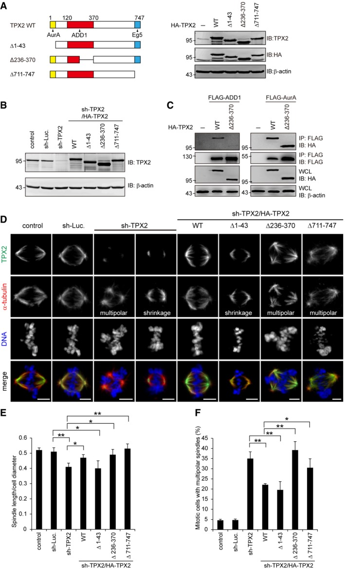 ADD1–TPX2 interaction is important for bipolar spindle formation HA‐tagged TPX2 WT (HA‐TPX2 WT) and the deletion mutants (HA‐TPX2 Δ1–43, ∆236–370 and ∆711–747) were transiently expressed in HEK293 cells and then analyzed by immunoblotting (IB) with anti‐TPX2 and anti‐HA. HeLa cells were infected with lentiviruses expressing shRNAs to TPX2 (sh‐TPX2), or luciferase (sh‐Luc.). HA‐TPX2 WT or the mutants (∆1–43, ∆236–370 and ∆711–747) were re‐expressed in the cells whose endogenous TPX2 had been depleted. Equal amounts of whole‐cell lysates were analyzed by immunoblotting (IB) with the indicated antibodies. FLAG‐tagged ADD1 (FLAG‐ADD1) or Aurora‐A (FLAG‐AurA) was transiently co‐expressed with HA‐TPX2 or its mutants in HEK293 cells. FLAG‐tagged proteins were immunoprecipitated (IP) by anti‐FLAG, and the immunocomplexes were analyzed by immunoblotting with anti‐FLAG or anti‐HA antibody. The cells were stained for TPX2 (green), α‐tubulin (red), and DNA (blue). Scale bars, 5 μm. The ratio of spindle length to cell diameter was measured (116–244 mitotic cells were counted in each group). The percentage of multipolar spindles in the total counted mitotic cells was measured (299–1,323 mitotic cells were counted in each group). Data information: Values (means ± s.d.) are from three independent experiments. * P