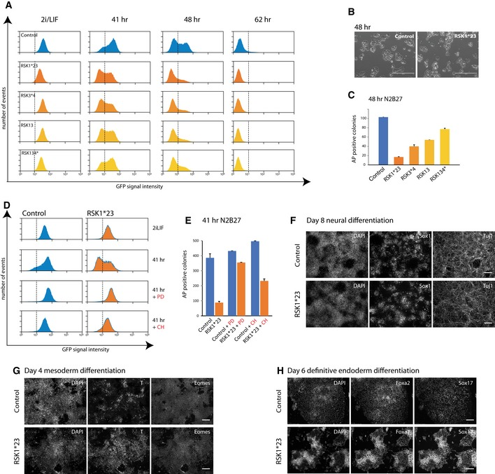 Deletion of RSK 1 accelerates ES cell transition Flow cytometry analysis of GFP downregulation in RGd2 parental cells and indicated RSK mutants following withdrawal of 2iLIF. Phase contrast images of RGd2 parental and RSK1*23 cells cultured in N2B27 for 48 h. Scale bar: 400 μm. Colony‐forming assay on RSK mutant cell lines after withdrawal from 2iLIF for 48 h. Six hundred dissociated cells were plated per 6 wells in 2iLIF. Plot shows numbers of undifferentiated alkaline phosphatase (AP)‐positive colonies stained after 5 days. Mean and SD shown; n = 2. Flow cytometry analysis of RGd2 expression in parental line and RSK1*23 mutant cells in the presence of PD0325901 (PD) or Chir99021 (CH) for 41 h. Colony‐forming assay on RSK 1*23 cells cultured in PD or CH for 41 h. One thousand cells were plated per 6 wells in 2iLIF and stained for AP after 5 days. Mean and SD shown. n = 2. Immunostaining of RSK 1*23 cells with Sox1 and Tuj1 antibodies after 8 days culture in N2B27. Scale bar: 100 μm. Immunostaining of RSK1*23 cells with T and Eomes after 4 days in N2B27 medium supplemented with ActivinA and CH. Scale bar: 100 μm. Immunostaining of RSK1*23 cells with Foxa2 and Sox17 antibodies after 6 days in definitive endoderm inducing media. Scale bar: 100 μm.