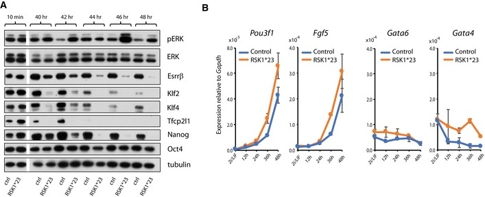 RSK mutations increase the rate of entry into differentiation RSK1*23 and parental cells were withdrawn from 2iLIF and cell lysates prepared between 40 and 48 h. Immunoblotting was performed with indicated antibodies. Ctrl = parental line. Marker gene expression analysis by RT–qPCR in RSK 1*23 mutants and parental cells transferred from 2iLIF into N2B27 for indicated times. Mean and SD shown; n = 2. Source data are available online for this figure.